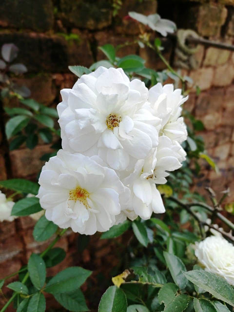 Flower White Rose